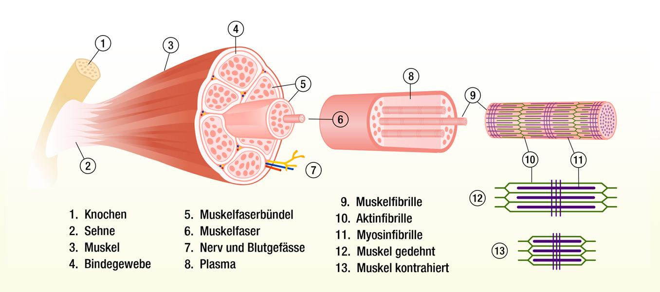 Aktivierung und Aufbau von Muskeln aufgezeigt am Beispiel des ...